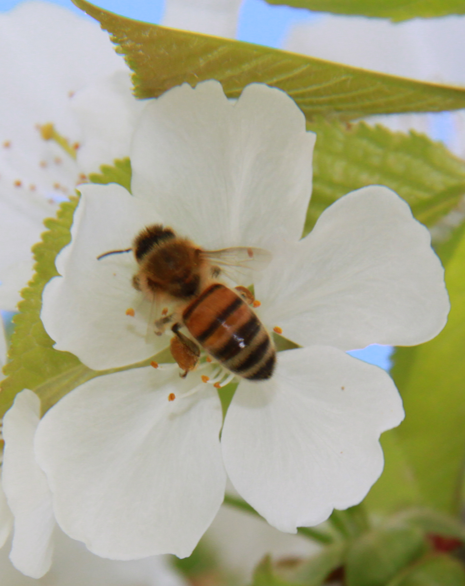 De belles pelotes de pollen aux pattes