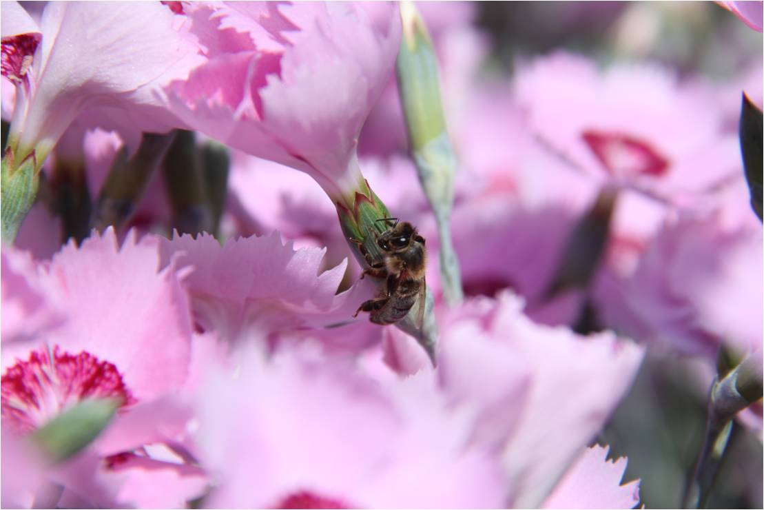 Le nectar des œillets