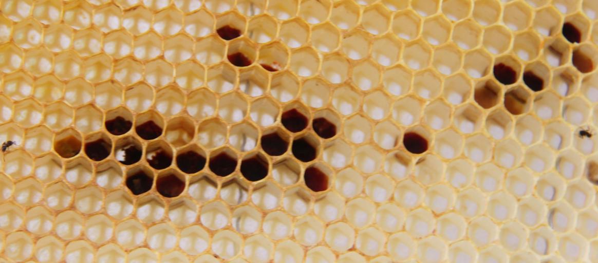 Du pollen noir récolté