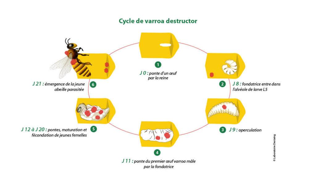Cyclevarroa